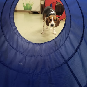 Beagle looking through tunnel at doggy day camp