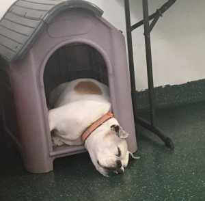 Bull dog sleeping in dog house